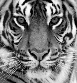WHITE-TIGER-BLUE-EYES252x271-BW