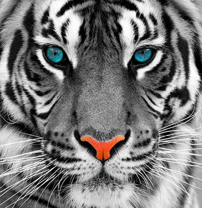 WHITE-TIGER-BLUE-EYES400x412